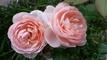 玫瑰收藏屋的LOGO