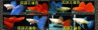 溪湖孔雀魚的LOGO