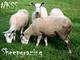 Sheep grazing的LOGO