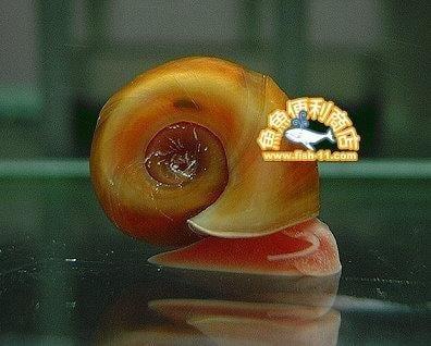 [魚魚便利商店] -『暫無庫存』- 紅蘋果螺  10隻一組  全新寶特瓶包裝 --  淡水河豚、螯蝦、龍蝦最愛