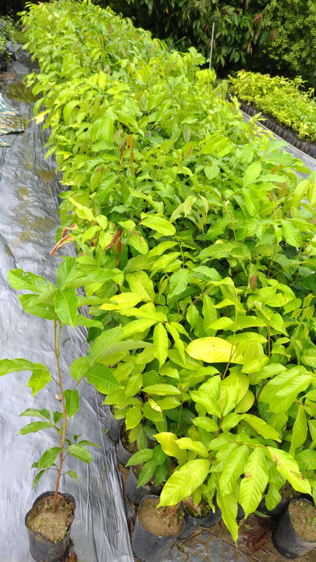 哇沙米景觀¥紅毛丹,實生苗,高60公分  部分已鉛筆粗可供嫁接。