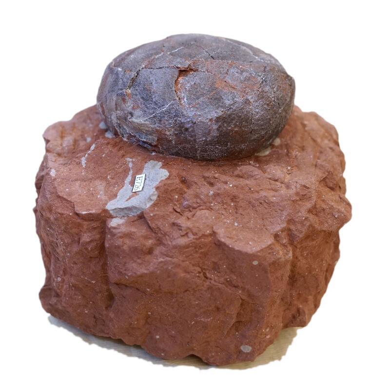 [特價] 未定種 小圓蛋 草食類恐龍蛋 化石~~天然蛋殼、非貼皮黏合,中國江西_白堊紀 (保證真品)