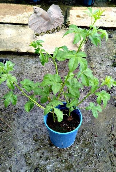 5吋盆[ 刺五加盆栽 高級保健食品原料 ] 活體香草植物盆栽可食用.料理或泡茶~半日照佳~