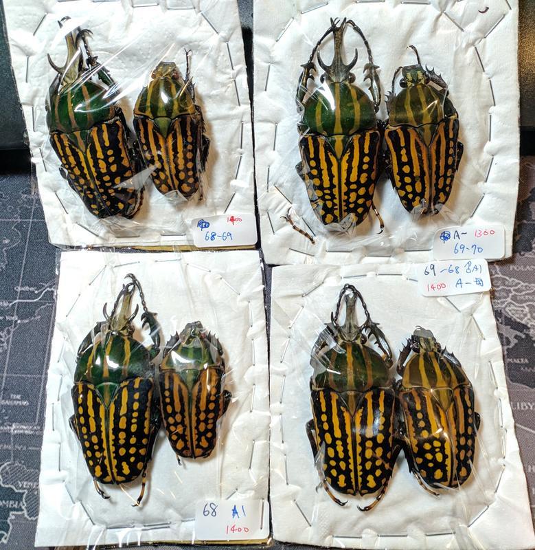 【天牛執事】【昆蟲標本】薩維吉角金龜 Mecynorhina savagei
