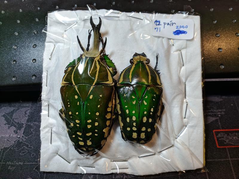 【天牛執事】【昆蟲標本】菲夢角金龜 Mecynorhina polyphemus