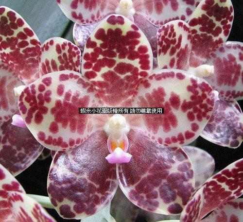 《蝦米小花園》蘭花?原生種蝴蝶蘭?象耳蘭?Phalaenopsis gigantea?3.5吋苗