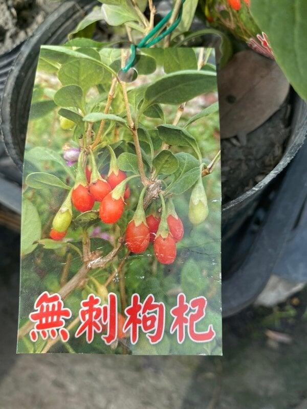 ( 花園小果樹 ) - 無刺枸杞 葉可食果可食 3.5吋黑軟盆