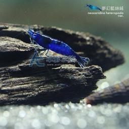 【AC草影】夢幻藍絲絨【三隻】藍米蝦 觀賞蝦 淡水蝦  蝦缸 絲絨蝦