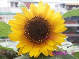 """矮性向日葵 ~ """"大微笑""""種子10顆 , 進口種子 ,株高30-40公分,花徑15-17公分 ,適合家庭種植賞花~"""
