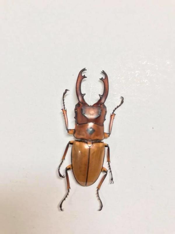 Prosopocoilus occipitalis occipitalis(長牙)三點赤鍬形蟲