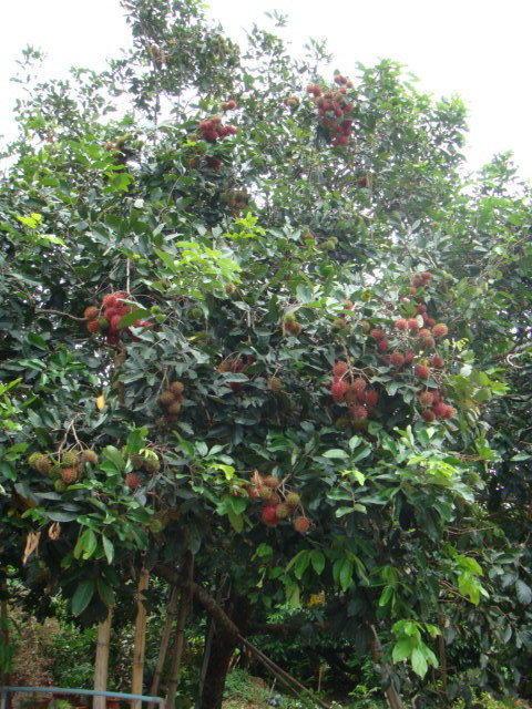 紅毛丹實生苗 苗高25-30公分--長毛的荔枝