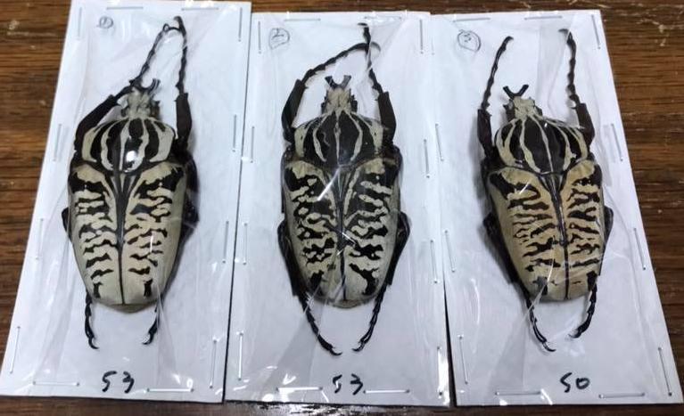 Goliathus albosignatus kirkianus虎斑大角花金龜