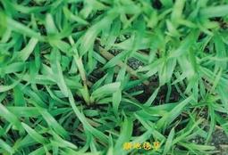 尋花趣 特價中 類地毯草種子 愛芬地毯草種子 粉衣種子   1公斤裝