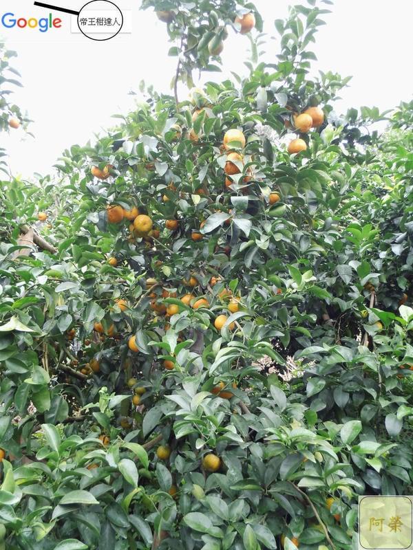 """""""先詢問再下單""""11月底採收,竹山特產嚴選「砂糖橘」A級每箱約3.5斤,愈小棵愈好吃,香澄飽滿,果香味甜,沙糖橘砂糖桔。"""