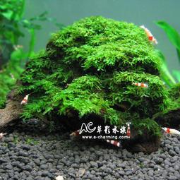 【AC草影】珊瑚 莫絲 沉木(L)【一棵】主景草 陰性水草 莫斯 默思