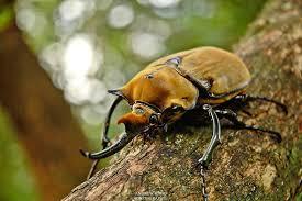 毛象大兜蟲 L2幼蟲
