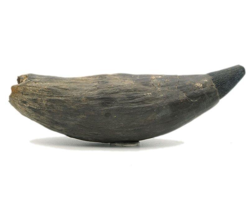 [天成晶石] 抹香鯨 鯨魚牙化石~~上新世 抹香鯨科 (南卡羅來納州) (超巨大,鯊魚 海豚可參考)