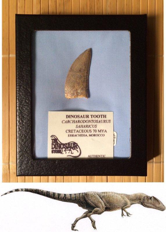 撒哈拉鯊齒龍(望齒龍、噬人鯊龍、非洲暴龍)恐龍牙化石(真品恐龍牙齒化石)