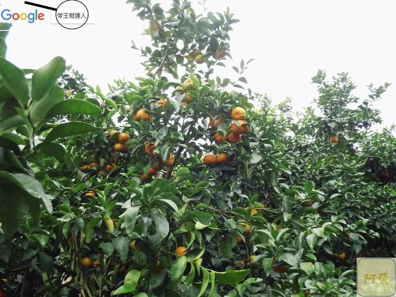 """""""先詢問再下標""""每年11月底收i嚴選「砂糖橘」C級每箱約3.5斤,愈小棵愈好吃,香澄飽滿,果香味甜,沙糖橘砂糖桔。"""