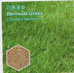 【滿300免郵資】美國進口 百慕達草種子 純種子 25公斤/包