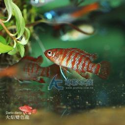 【AC草影】火焰變色龍 【三隻】觀賞魚 淡水魚 火燄變色龍