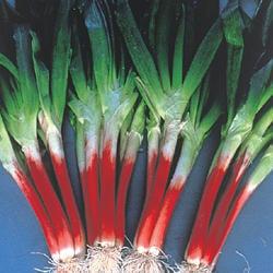 【野菜部屋~蔬菜種子】D12 日本赤蔥種子0.55公克(約300粒) , 獨特風味 , 葉片柔軟食用佳 , 每包12元~