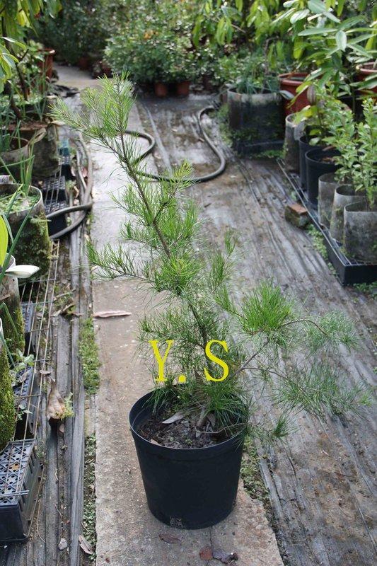 赤松樹苗 (新品種 葉子味道特殊)---好樹分享---不售