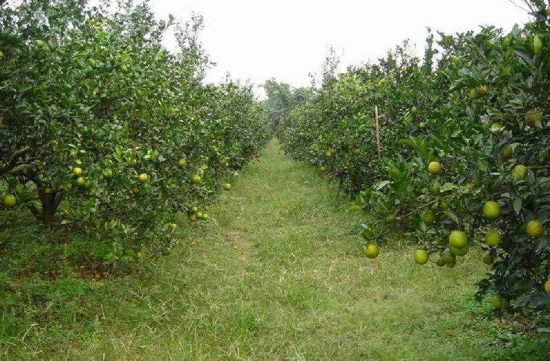 """""""先詢問再下標""""帝王柑(宅配通用標).台灣水果.我們種植近20年了,預計每年11/15之後採收依節氣調整前後。"""