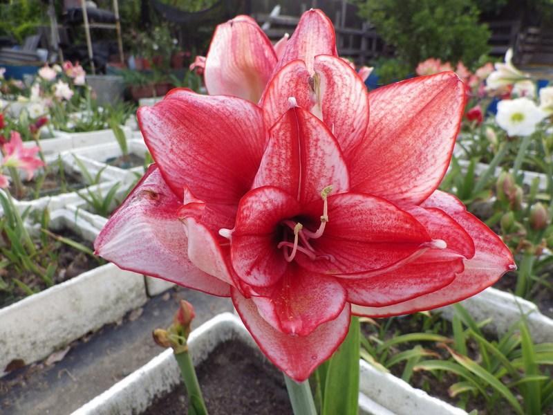 阿ken的園區~澳洲~孤挺~多瓣~ Edith's choice ~愛的選擇~ 保證~開花球~優惠價:1599元