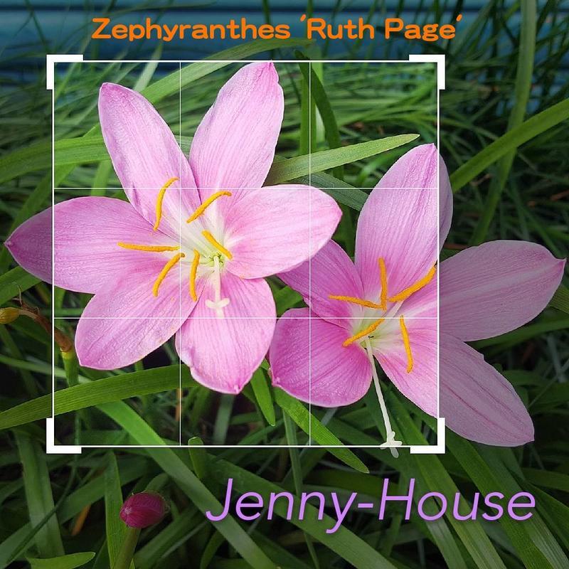 粉紅特大花Zephyranthes 'Ruth Page'風雨蘭/韭蘭開花球(2公分以上)