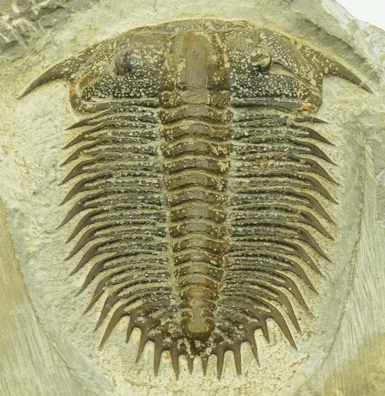 [高完整度] 帕氏德氏三葉蟲 化石~~寒武世,中國
