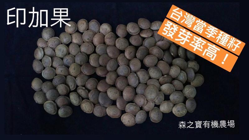 [森之寶]- 印加果 種子 (台灣友善農耕)、南美油藤、星星果、美藤果、印加花生、印奇果、星油藤  種子 ,每粒3元!