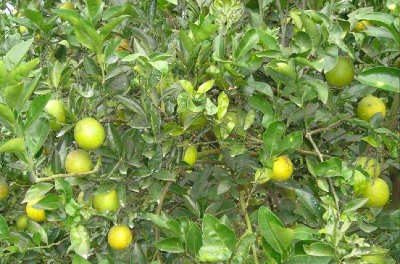 帝王柑.當季水果.我們種植近15年了,預計2014年11月15日之後採收。