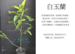 心栽花坊-白玉蘭/玉蘭/玉蘭花/4吋盆/香花植物/綠化環境/售價140特價120