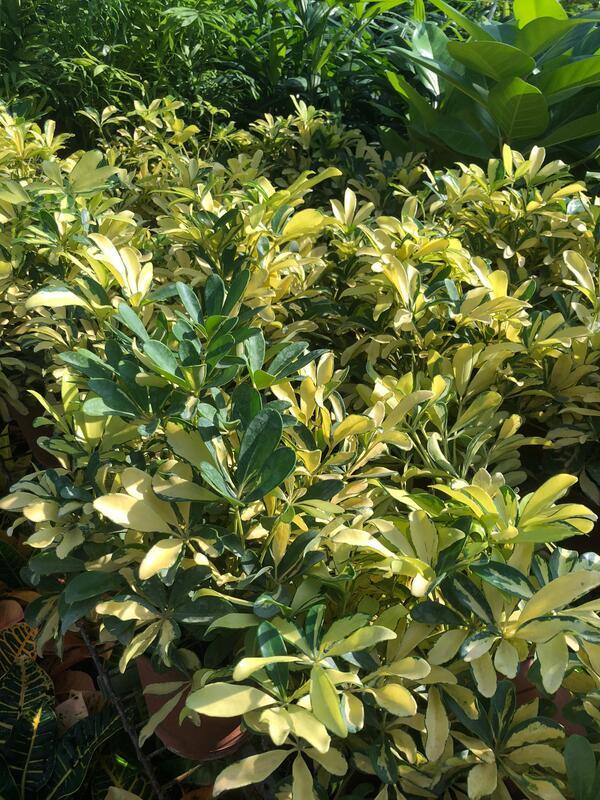 花花世界-常綠植物*黃金鵝掌藤*5-6吋盆/高20-40公分/葉子如黃金盛開/MA