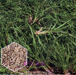 【野菜部屋~草皮種子中包裝】U08 百喜草種子250公克 , 耐踐踏 , 耐修剪 , 每包150元~