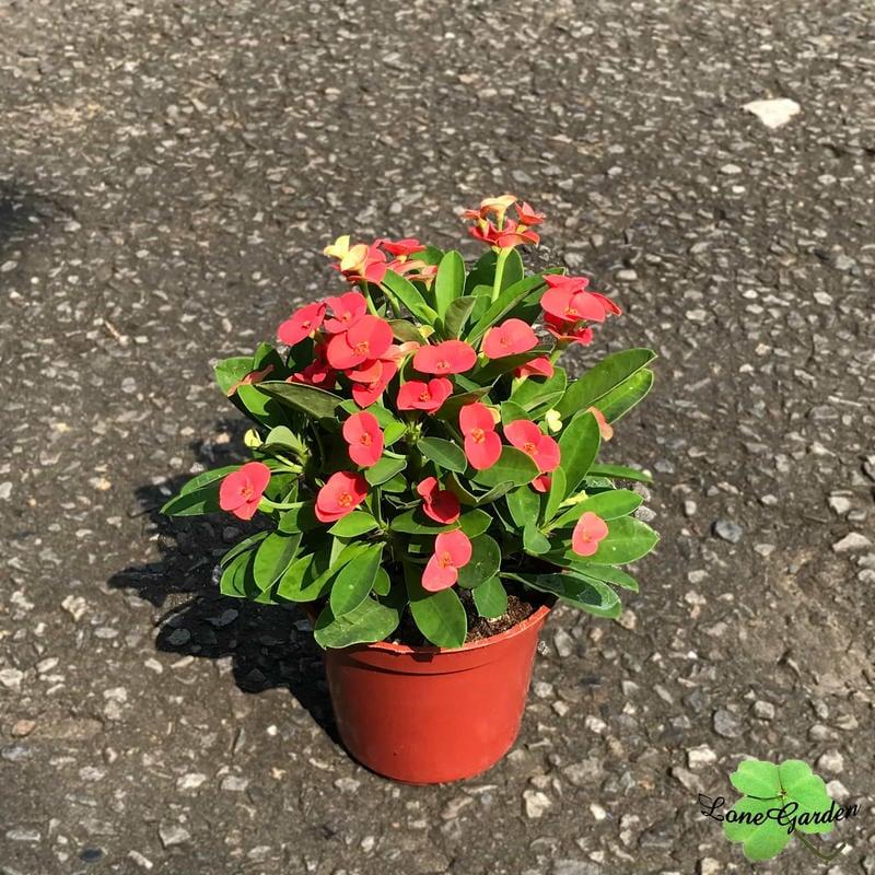 ~長榮~~【麒麟花】3吋盆 避邪植物 有刺植物 多肉植物 吉祥富貴盆栽 常綠植物樹種 花期長