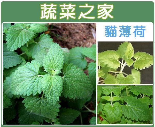 【蔬菜之家】K14.貓薄荷種子100顆(嫩葉可泡茶,加在沙拉中、燉肉或烤肉的調味。乾葉的香味比新鮮的葉片還濃烈)