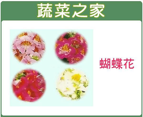 全館滿799免運【蔬菜之家00H38】大包裝.蝴蝶花種子(高40cm)900顆
