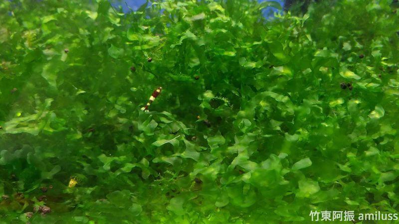 怪蕨莫絲25g 水晶蝦專用 免綁莫絲 乾淨免洗無螺