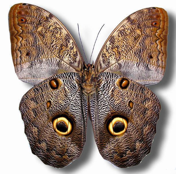 蟲新發現╭○-○╮蝴蝶標本A1~ Caligo brasiliensis 貓頭鷹蝶  展翅12~13CM  產地:秘魯