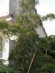 羅漢門園藝 出售海南黃花梨樹(降香黃檀)胸徑2.5-5cm左右3.5-6m 1000