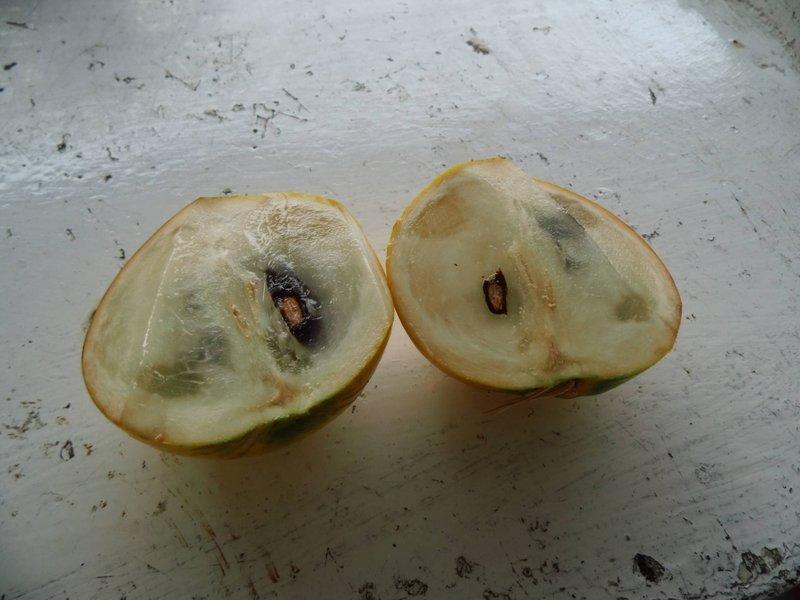 好吃的台灣水果-古坑黃金果7/20上市囉為期一個半月,規格為:每棵約10-12兩六棵每箱650元。
