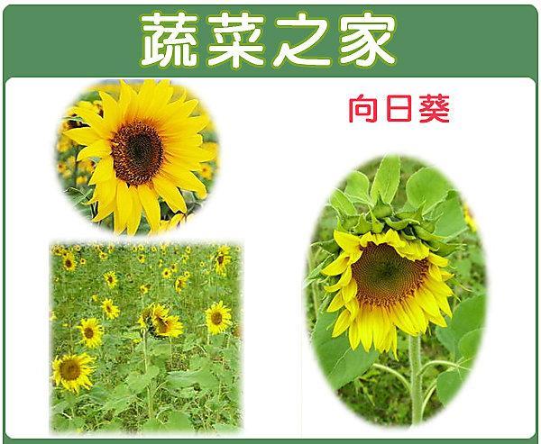 【蔬菜之家】H01.向日葵種子150顆(美化綠化環境作物)