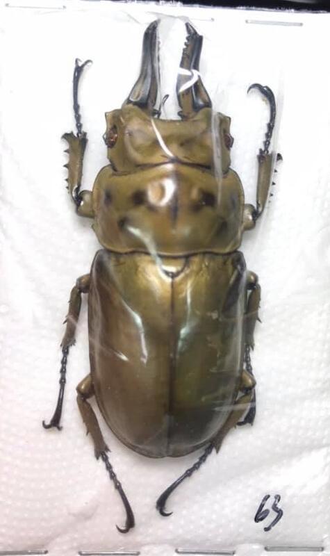 Allotopus rosenbergi.羅森伯基黃金鬼豔+50mm~+60mm