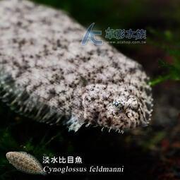 【AC草影】淡水比目魚【一隻】FAG01193