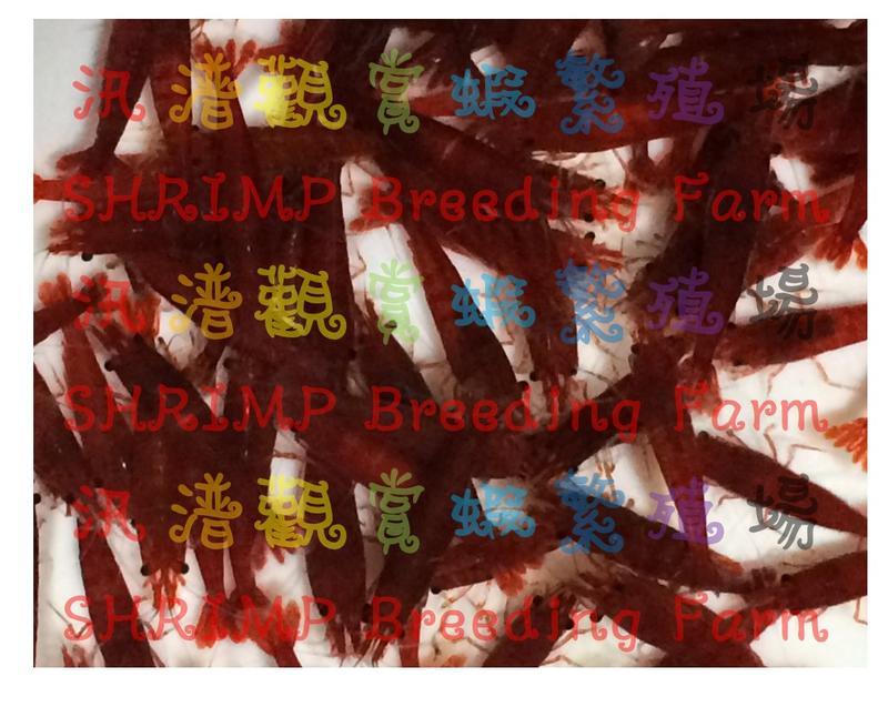 【汛潽觀賞蝦繁殖場】血清瑪莉米蝦 /血腥瑪麗米蝦  oo批發區oo