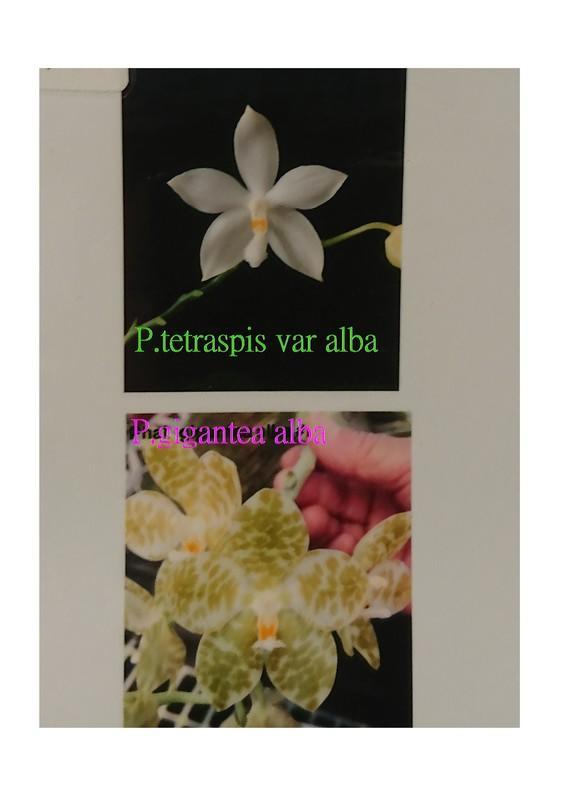 {親友蘭園} 蘭花拍賣之蝴蝶蘭- P.tetraspis var alba x P.gigantea alba
