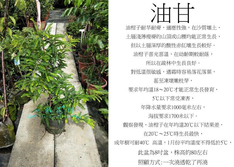 心栽花坊-油甘/8吋/水果苗/售價250特價200
