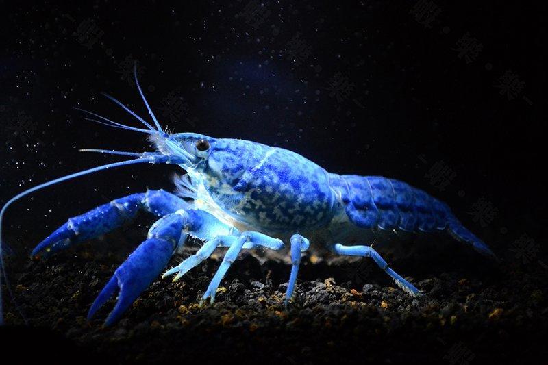 ~蝦樂樂~ 藍龍紋螯蝦 成蝦 幼蝦 單次螯蝦購滿500元即贈送「日本進口螯蝦專用飼料50g」